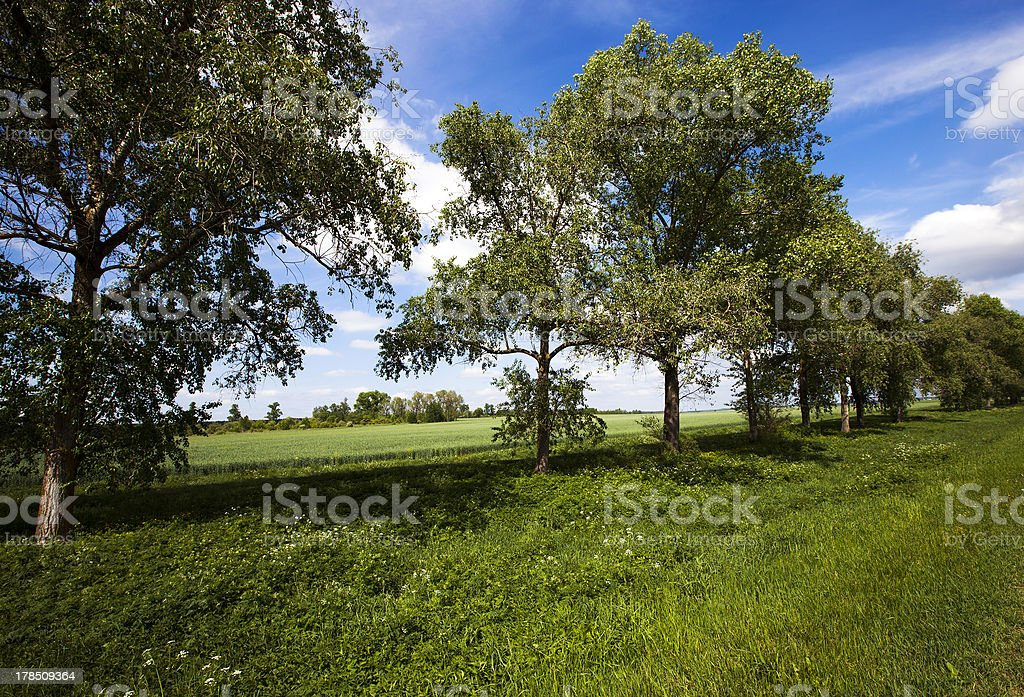trees (summer) royalty-free stock photo