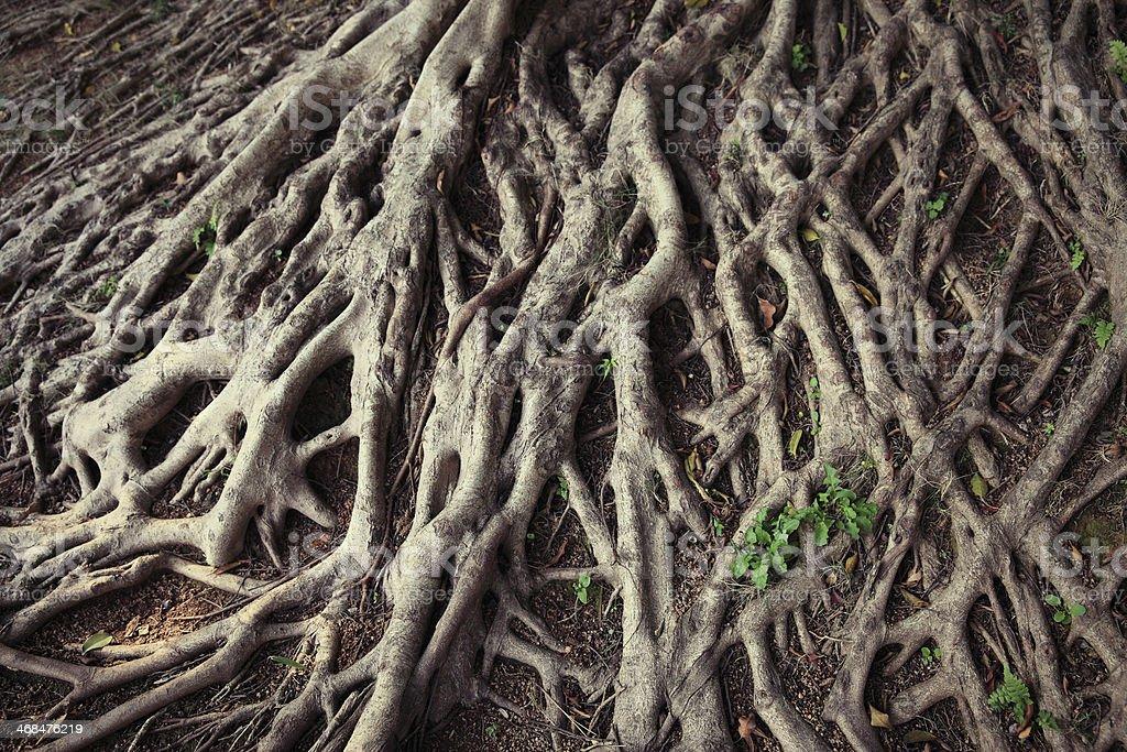 Tree\'s roots