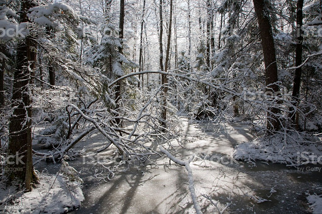 Trees snow wrapped blizzard after stock photo