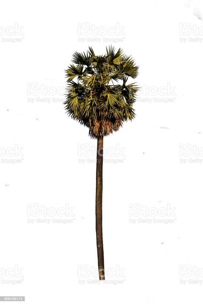 Trees sugar palm isolated white background. stock photo