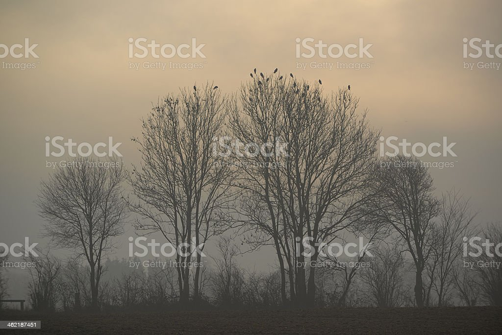 Trees with crows in field foggy day in countryside stock photo