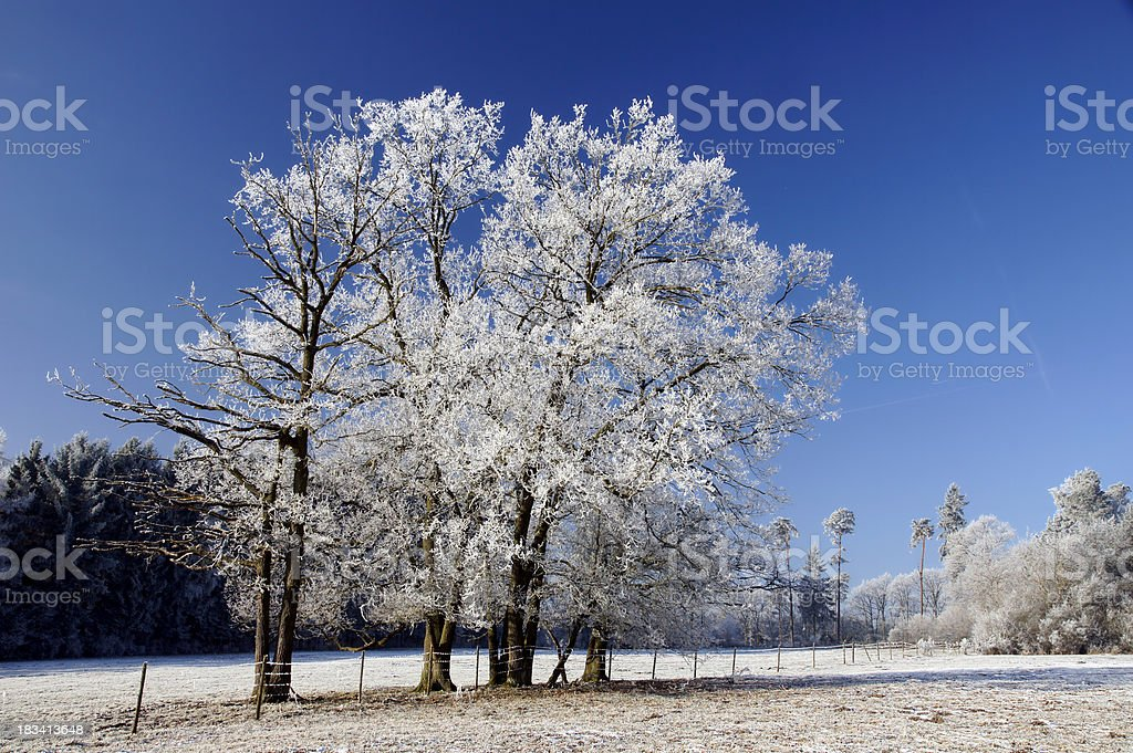 Trees with hoarfrost stock photo