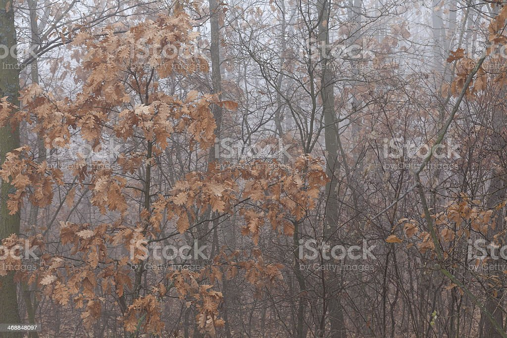 Trees with red autumn leaves in mist stock photo