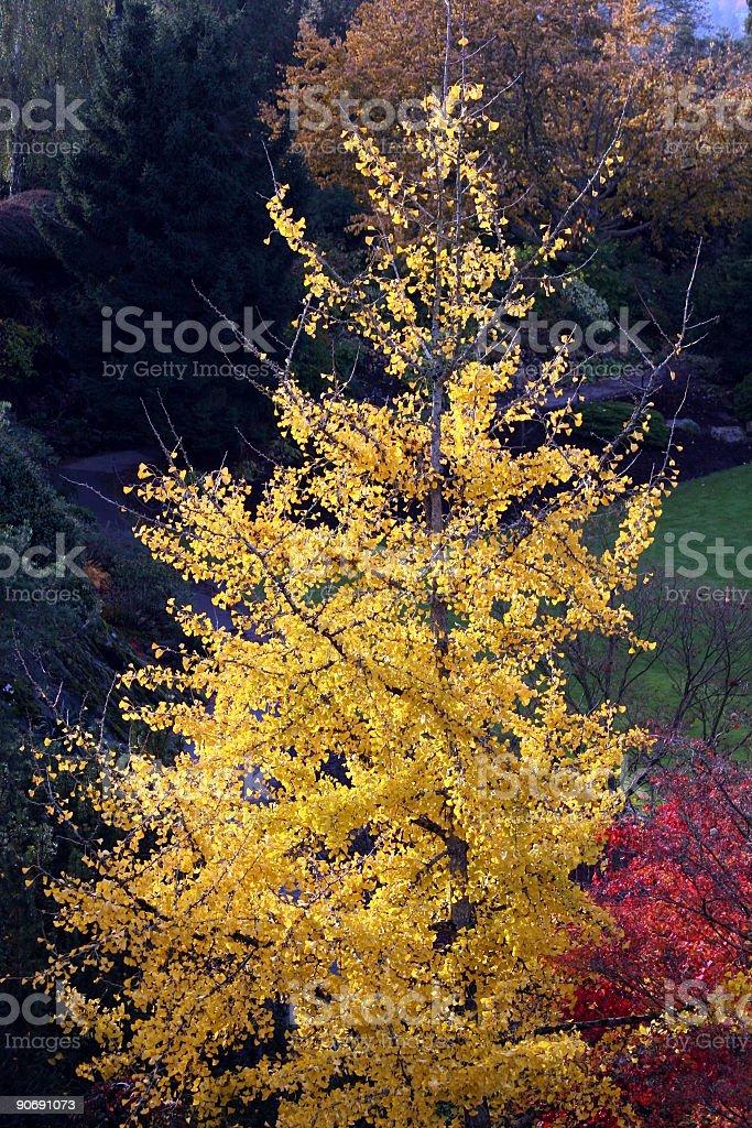 Trees_Autumn_Yellow royalty-free stock photo