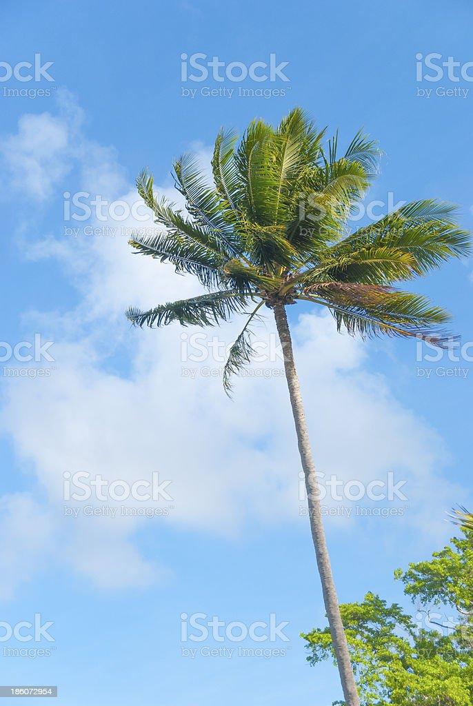 Treetop of palm tree royalty-free stock photo
