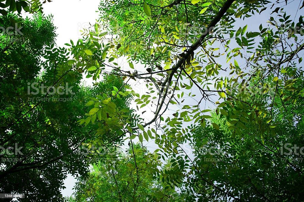 Treetop royalty-free stock photo