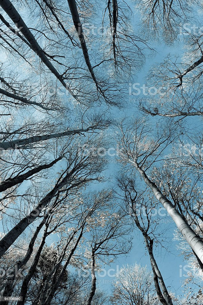 treetops and trunks royalty-free stock photo
