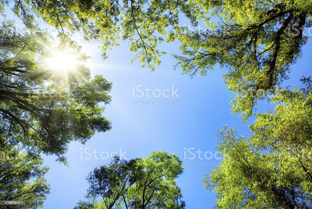 Treetops framing the sunny blue sky stock photo