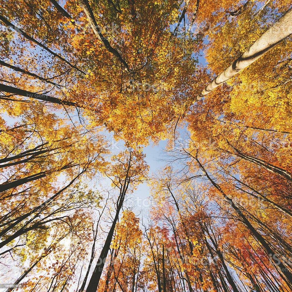 Treetops in Autumn royalty-free stock photo