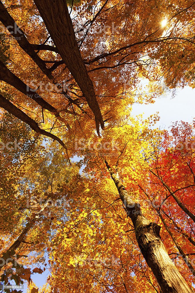 Treetops in Autumn royalty-free stock photo