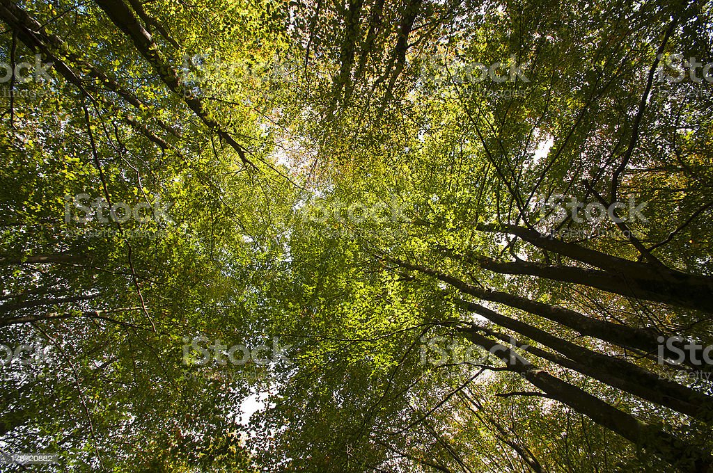 treetops seen from below with green leaves royalty-free stock photo