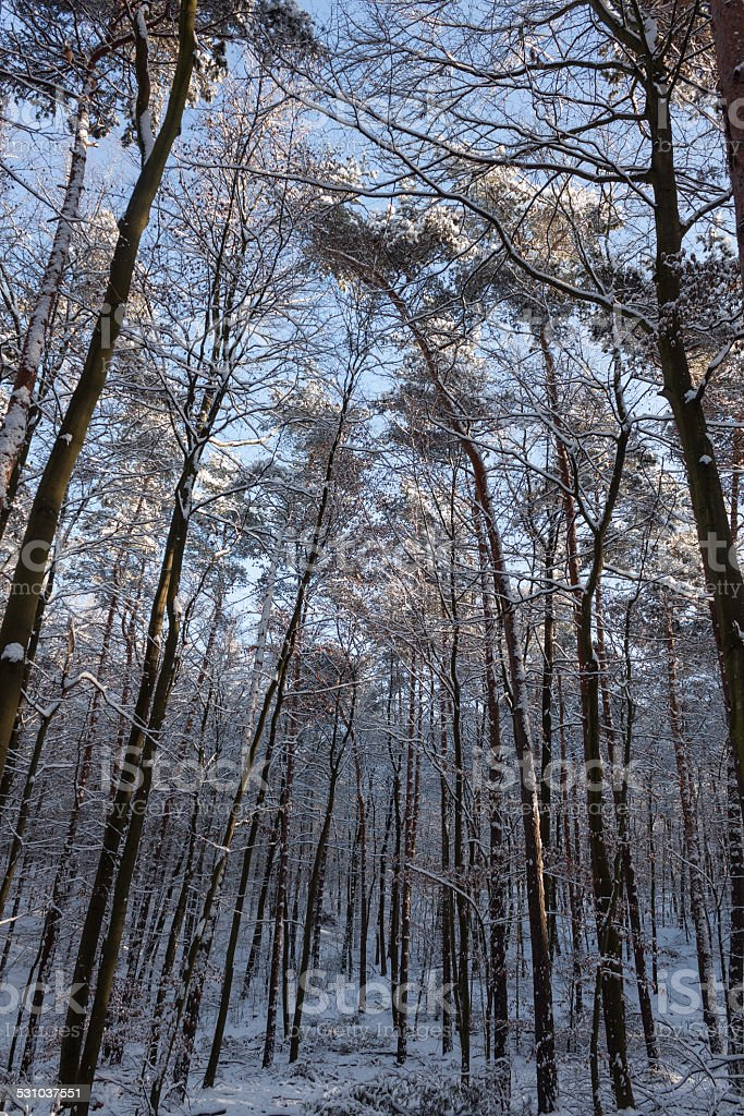 treetops skyward in a winter scenery stock photo