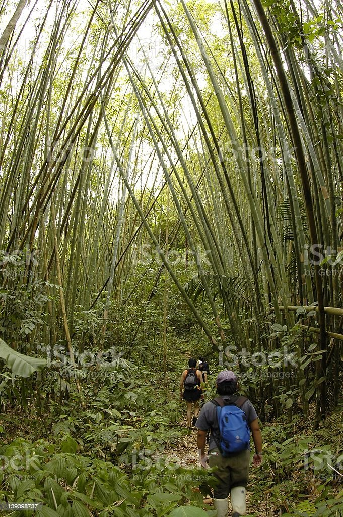 Trekking through a tropical bamboo forest stock photo