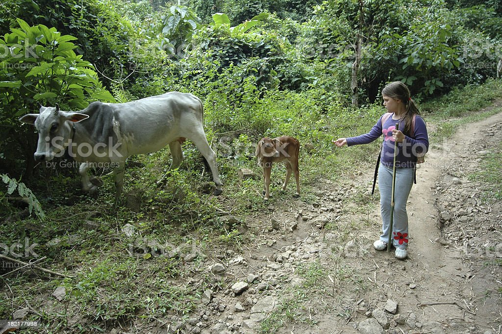 Trekking with cows royalty-free stock photo