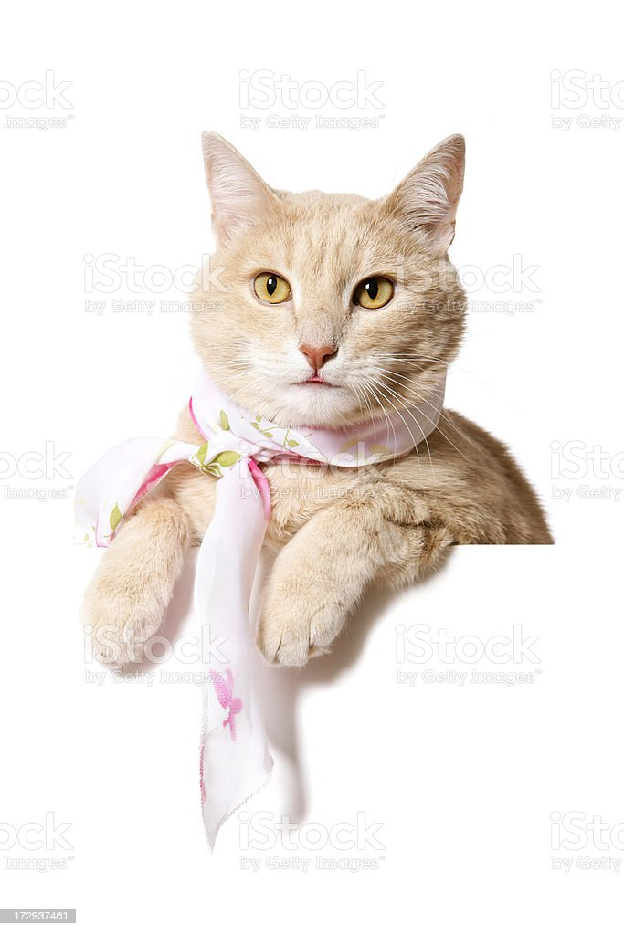 Trendy Cat (Blank sign on white) royalty-free stock photo
