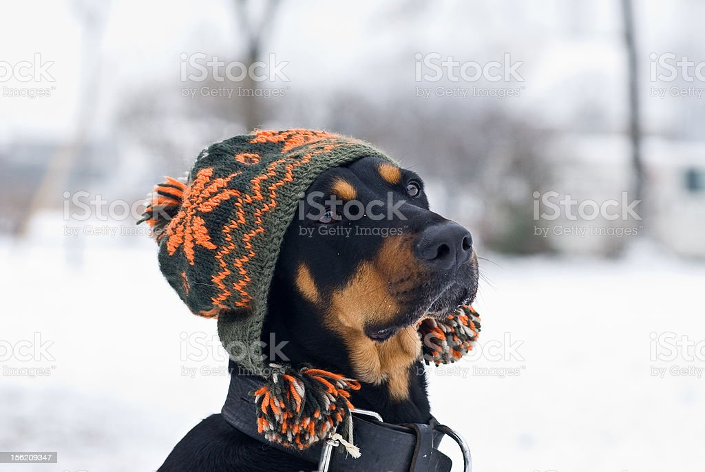 trendy dog royalty-free stock photo