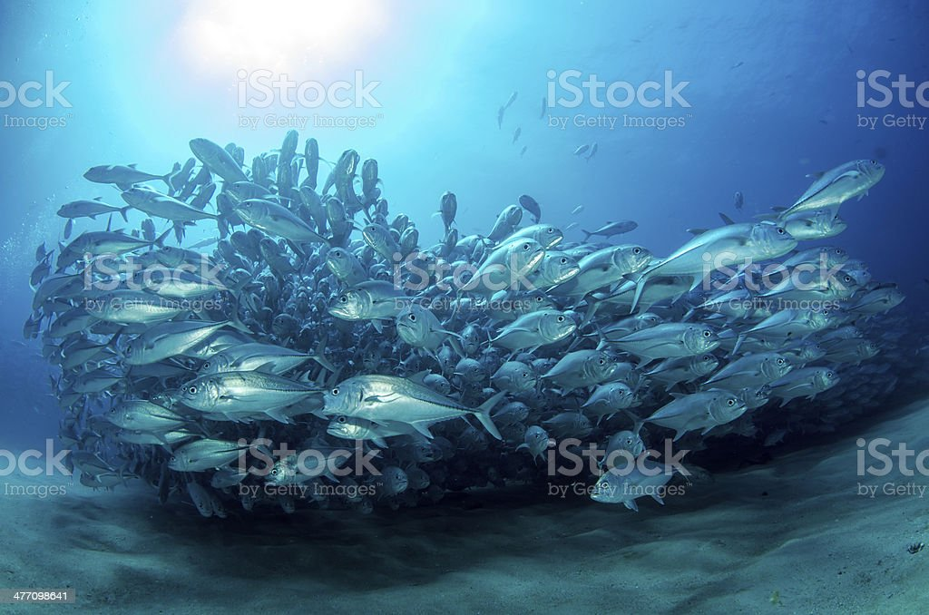 Trevally baitball stock photo