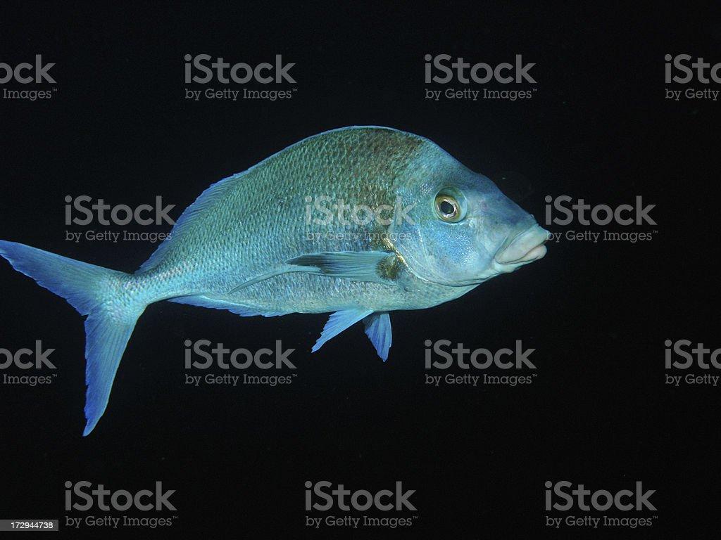 Trevally fish royalty-free stock photo