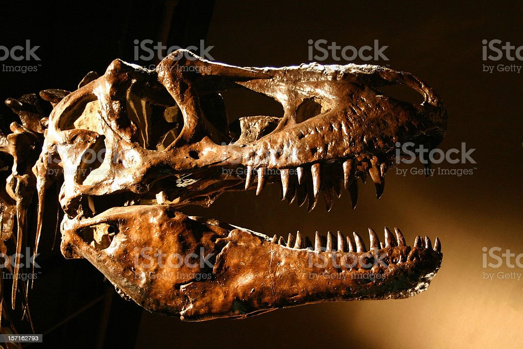 T-Rex Dinosaur Skull, Sharp Teeth Abound! stock photo