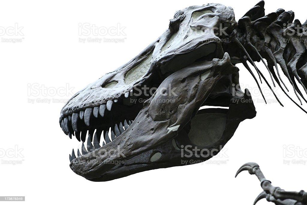 T-Rex skeleton on white royalty-free stock photo