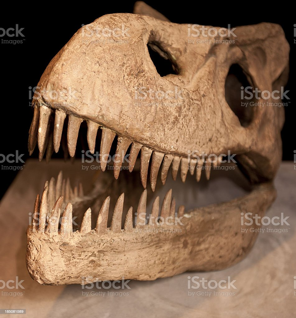 t-rex skull bones royalty-free stock photo