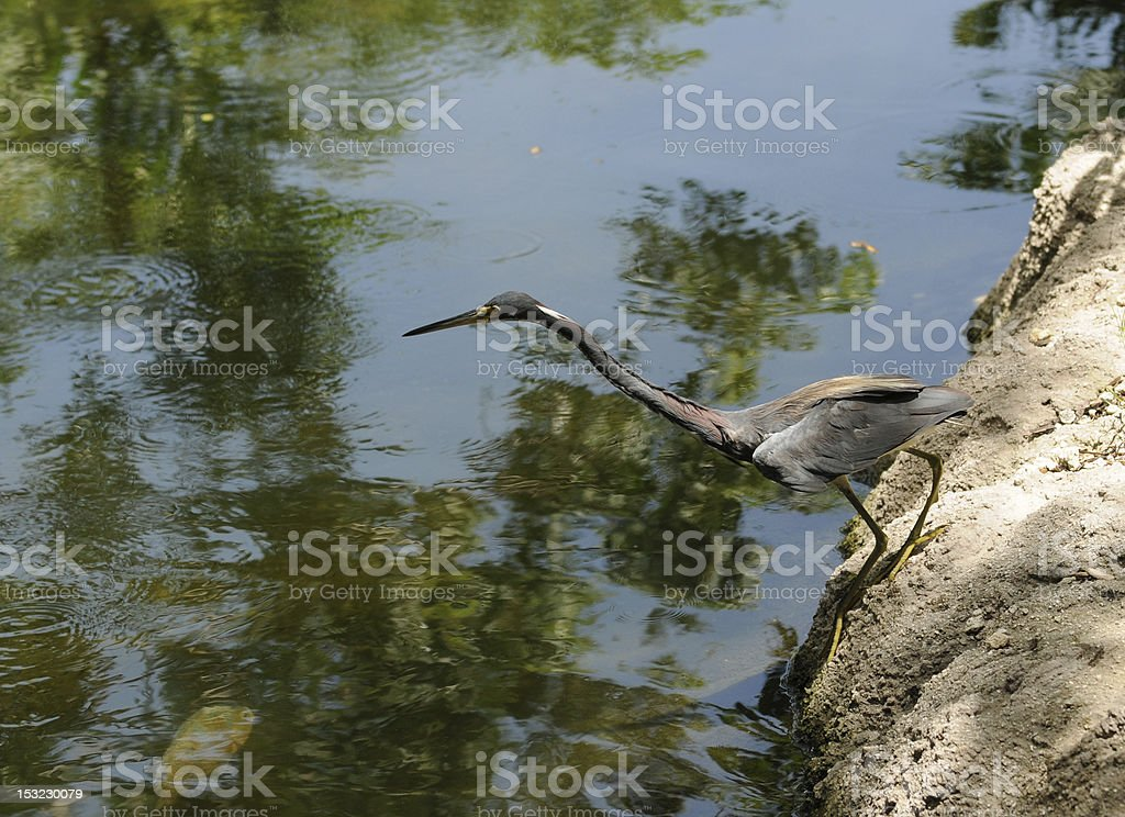Tri colored heron hunting stock photo