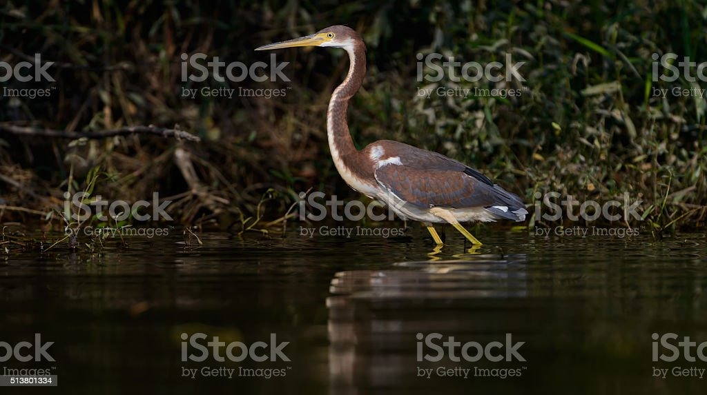 Tri Colored Heron Wading in the water, low angle stock photo