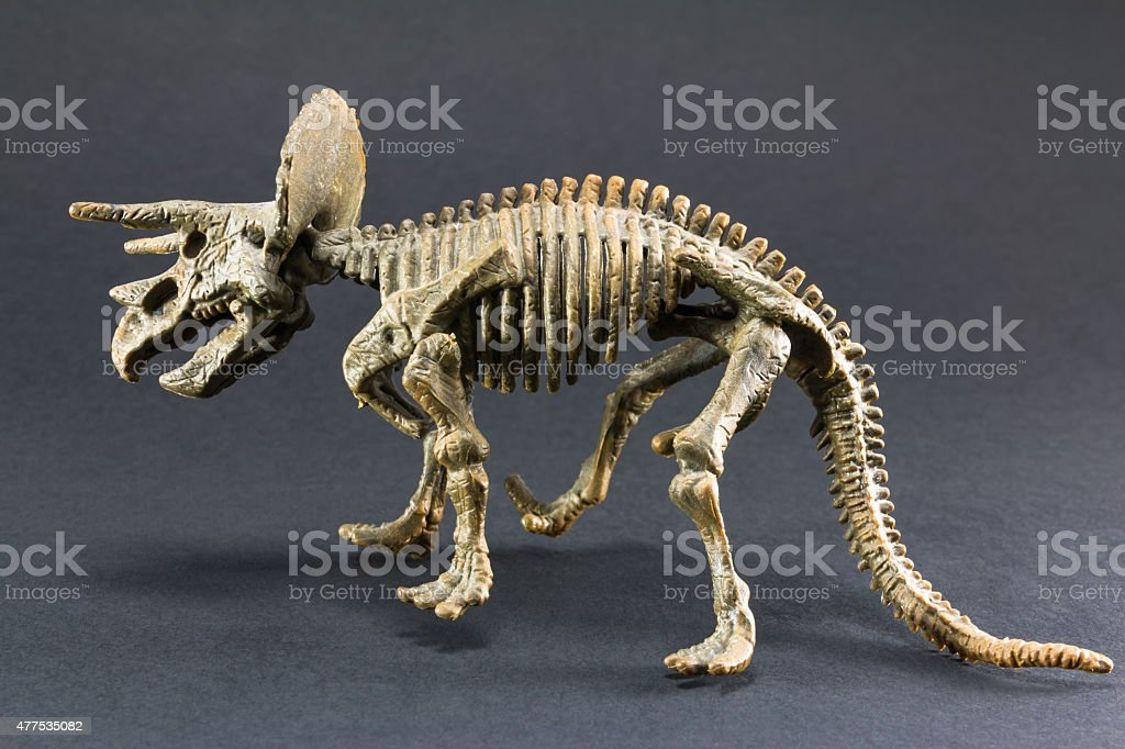 Triceratops fossil dinosaur skeleton model toy stock photo