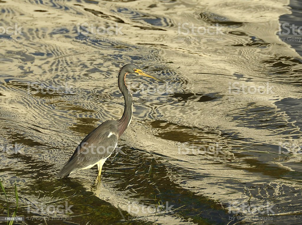 Tricilored heron stock photo