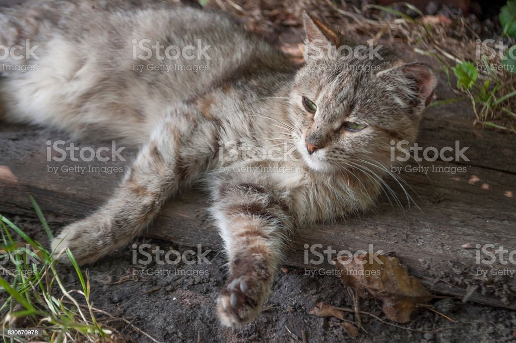Tricolor сat with green eyes is laying and looking forward stock photo