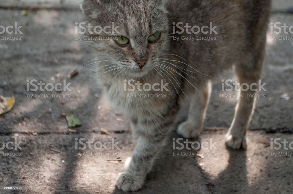 Tricolor сat with green eyes is walking and looking forward stock photo