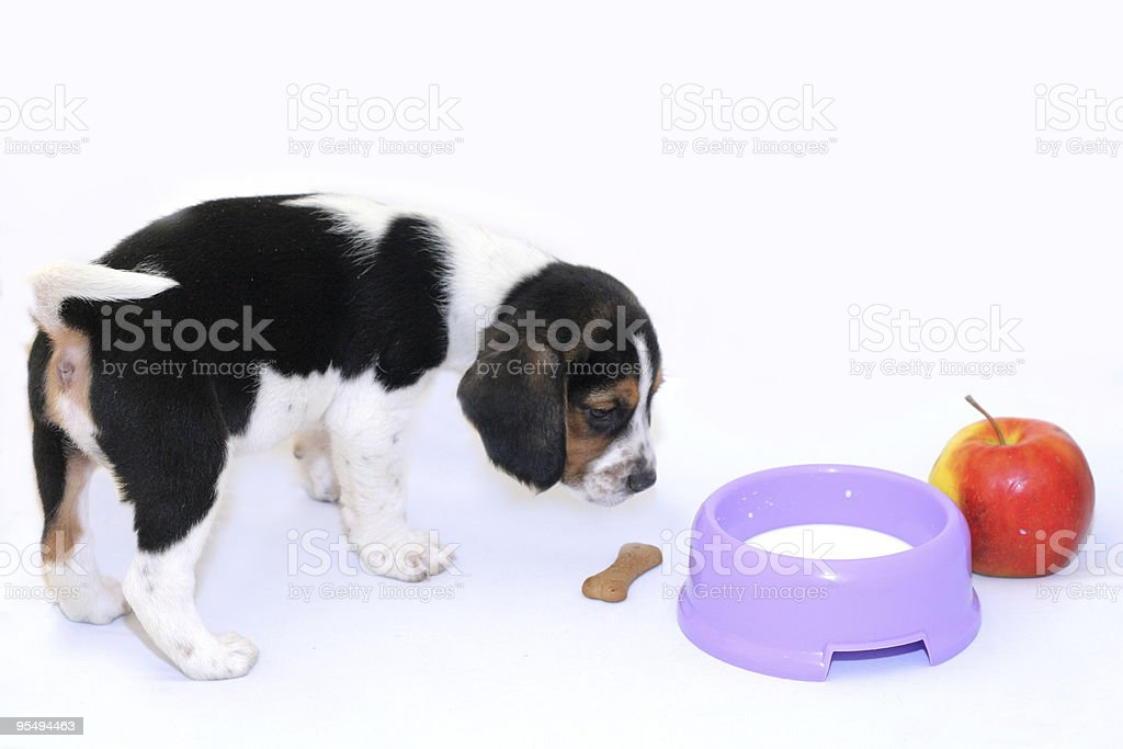 Tri-color beagle puppy drinks milk royalty-free stock photo