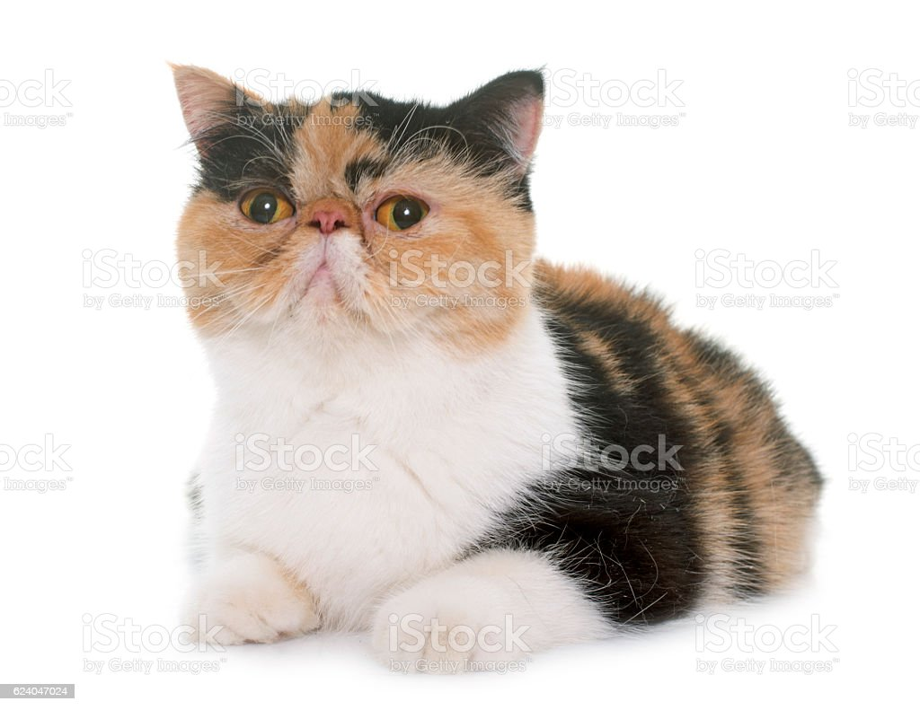 tricolor exotic shorthair cat stock photo
