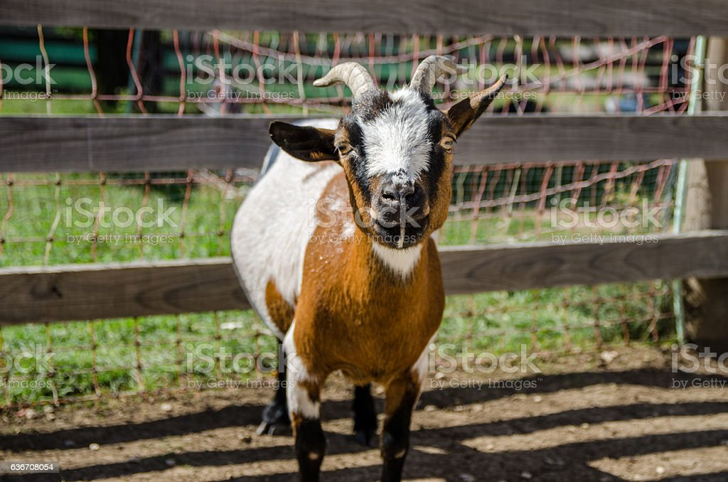 Tricolor goat in farm. stock photo