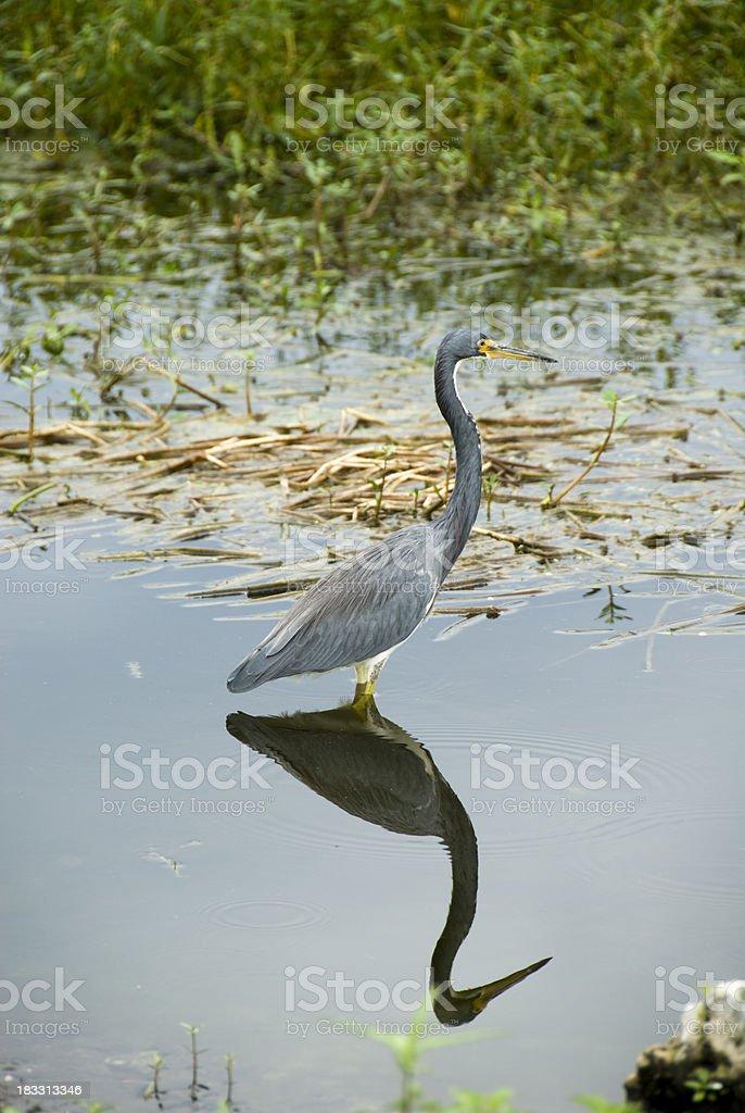 Tri-Color Heron in Florida Wetlands stock photo
