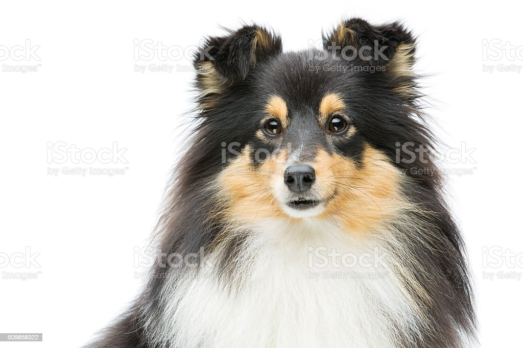 Tricolor sheltie dog stock photo
