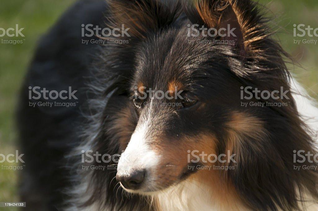 tri-color shetland sheepdog royalty-free stock photo