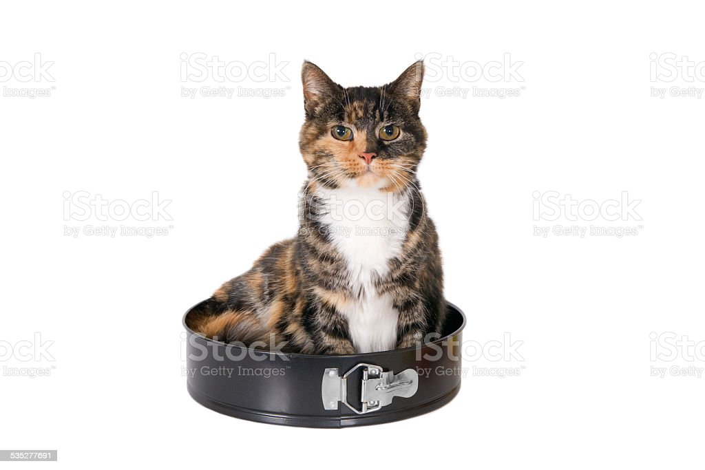 Tricolor turtle cat sitting in a cake pan stock photo