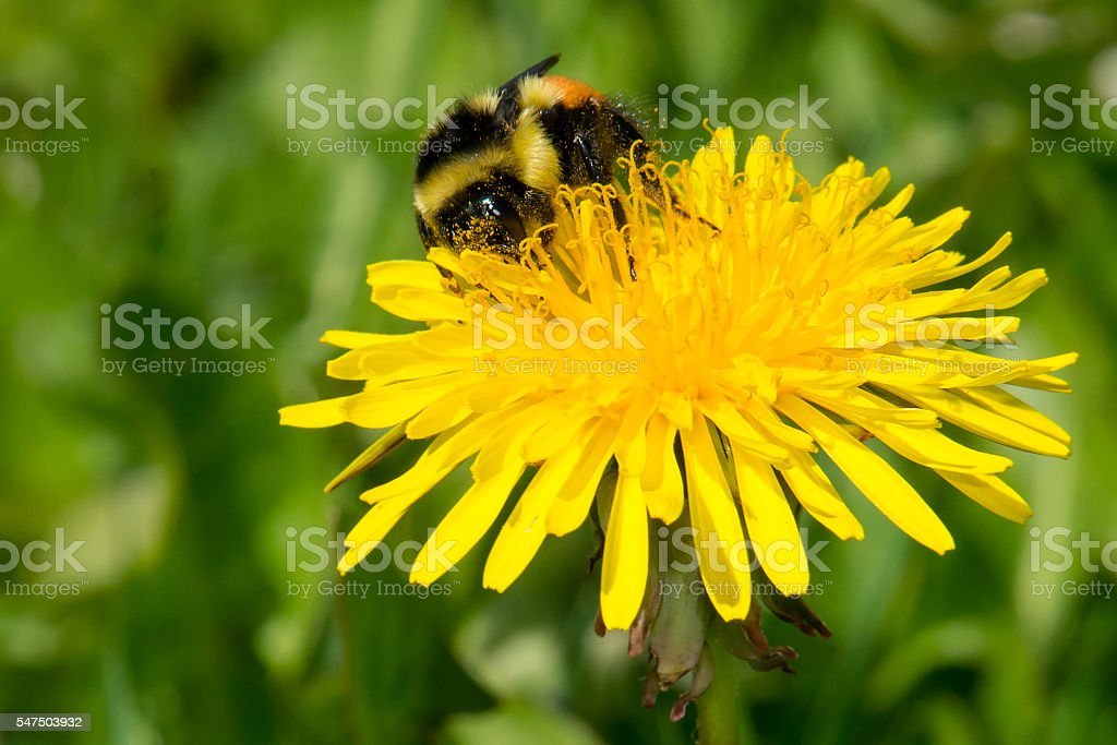 Tricolored Bumblebee stock photo