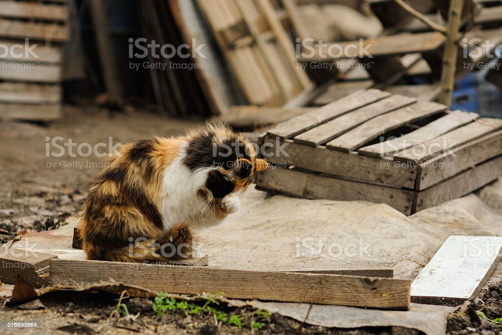 tricolored fluffy cat sitting and washes on the street stock photo