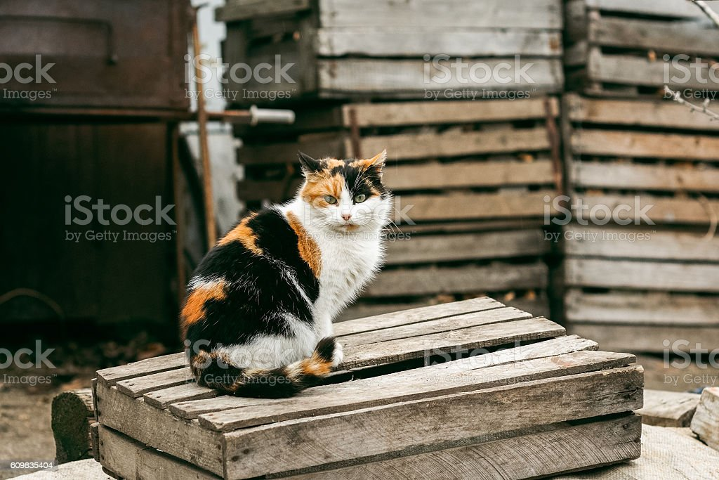 tricolored fluffy cat sitting on the street stock photo