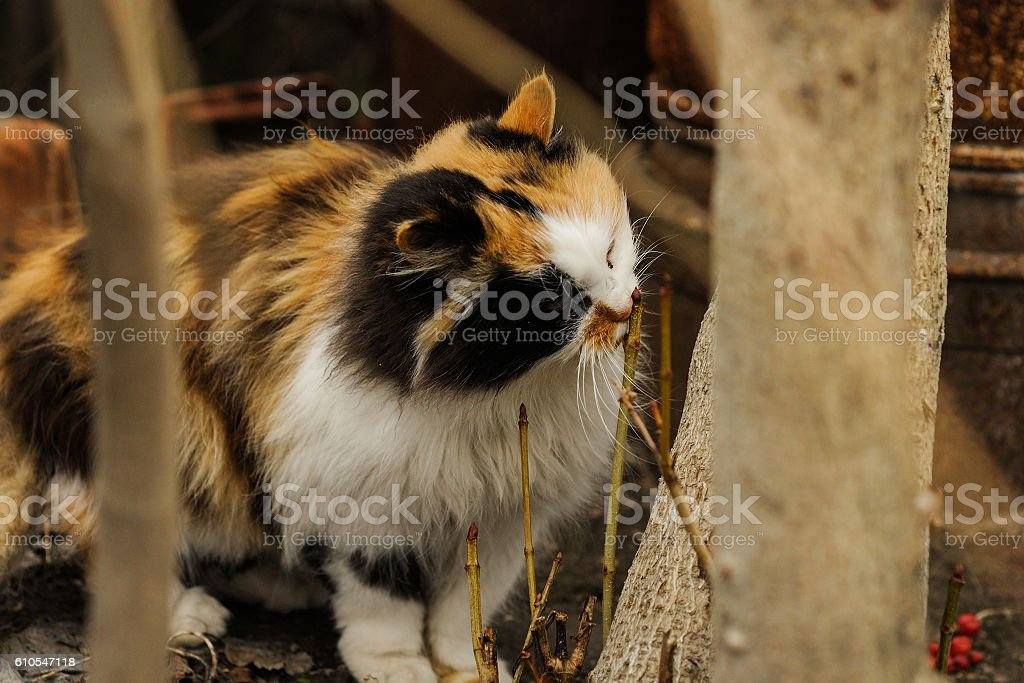 Tricolored fluffy cat sniffing tree stock photo