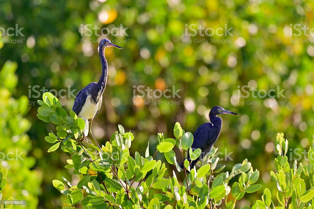 Tricolored Heron and blue little heron stock photo