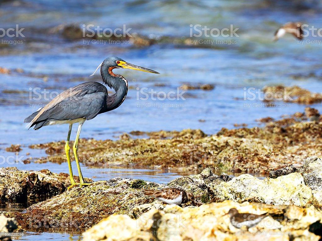 Tricolored heron (Egretta tricolor) at sea shore stock photo