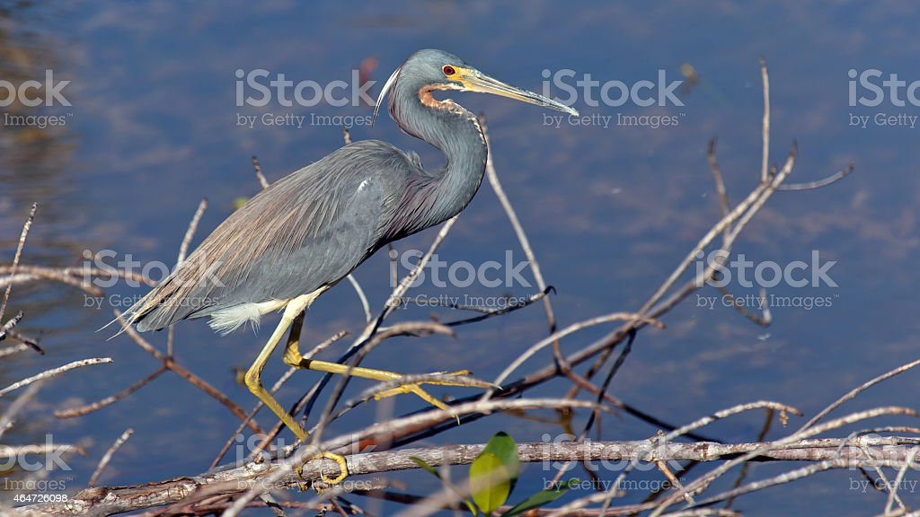 Tricolored Heron, Egretta tricolor, searching for food stock photo