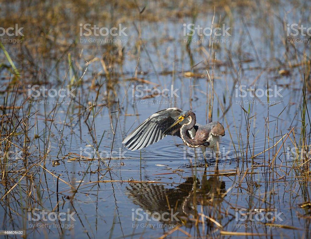 Tricolored Heron (Egretta tricolor)  fishing in Everglades stock photo
