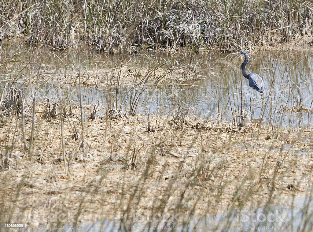Tricolored Heron (Egretta tricolor)  fishing in Everglades royalty-free stock photo
