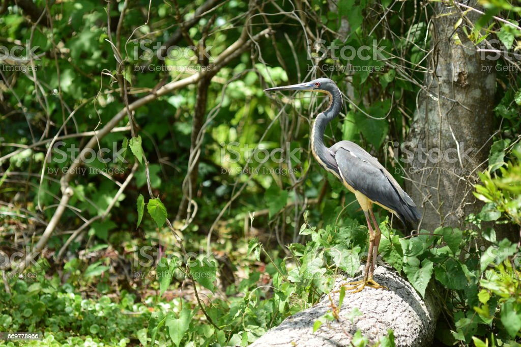 Tricolored heron perched on falled tree trunk stock photo
