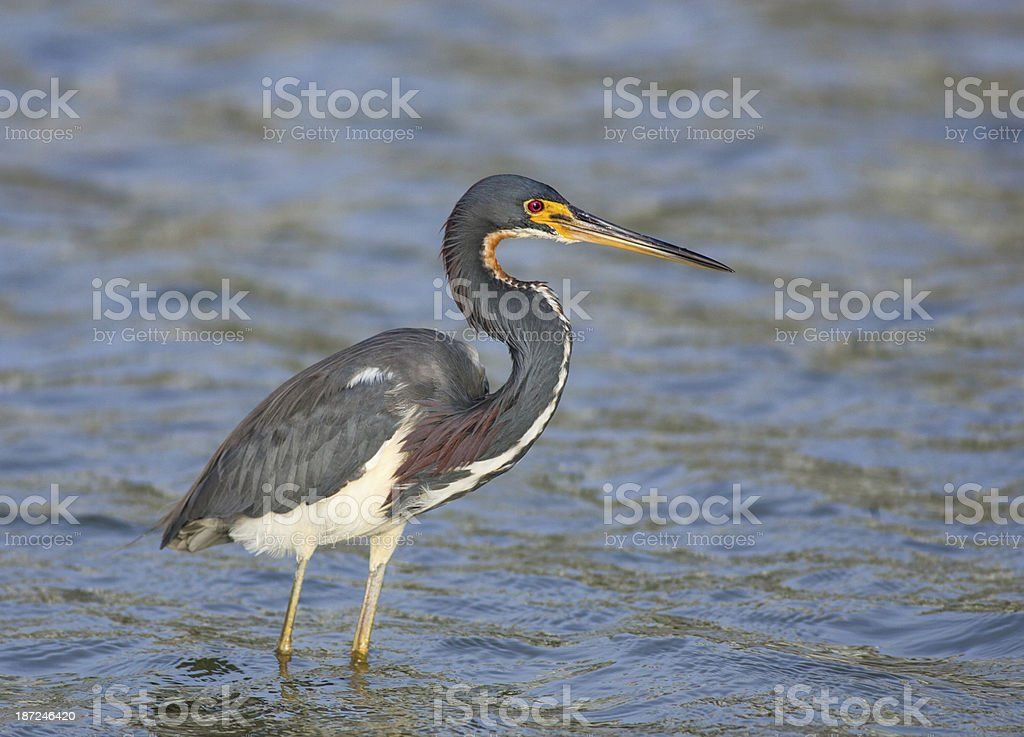 Tri-colored Heron royalty-free stock photo