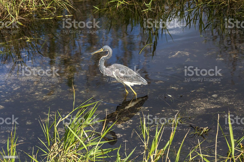 Tri-colored Heron stock photo